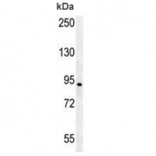 AXIN2 antibody western blot analysis in Jurkat lysate