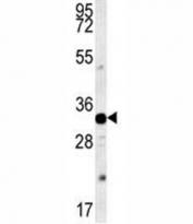AQP11 antibody western blot analysis in mouse heart tissue lysate. Predicted molecular weight ~30 kDa.