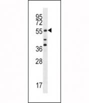 Cdc25A antibody western blot analysis in MCF-7 lysate. Predicted molecular weight: 59-70 kDa.