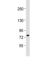 Western blot analysis of ABCG1 antibody (1:1000) and human HepG2 cell lysate. Predicted molecular weight: 75~90 kDa.