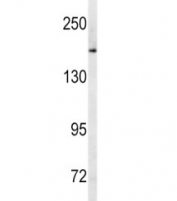 Western blot analysis of MRP1 antibody and human Ramos lysate. Predicted molecular weight: 152-172 kDa (multiple isoforms), can be observed at ~190 kDa.