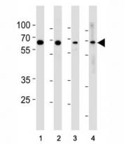 p65 antibody western blot analysis in (1) HeLa, (2) MCF-7, (3) Raji and (4) Ramos lysate.