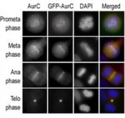 Immunofluorescence staining of HeLa cells expressing GFP-Aurora-C performed at different cellular mitotic stages with the A) Aurora-C antibody, B) GFP fluorescence, C) DAPI nuclear staining, and D) anti-Aurora C merged to DAPI staining.