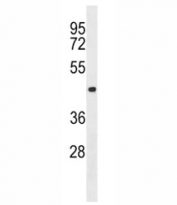 Aurora-C antibody western blot analysis in 293 lysate