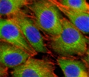 Fluorescent confocal image of C2C12 cells stained with AKT2 antibody at 1:25. Immunoreactivity is localized to the cytoplasm.