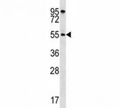 AKT1 antibody western blot analysis in HeLa lysate