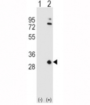 Western blot analysis of APOA1 antibody and 293 cell lysate either nontransfected (Lane 1) or transiently transfected (2) with the APOA1 gene. Predicted molecular weight ~30kDa.