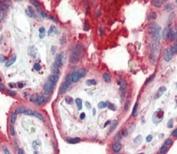 IHC analysis of FFPE human placenta tissue stained with APOA1 antibody
