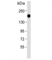 Western blot analysis of Epidermal growth factor receptor antibody and HeLa lysate. Expected molecular weight: ~134/170 kDa (unmodified/glycosylated).