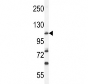 Western blot analysis of HIF1A antibody and mouse NIH3T3 lysate. Routinely observed molecular weight: 100~120 kDa.