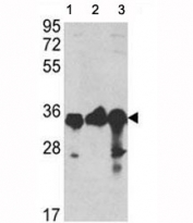 Western blot analysis of anti-GAPDH antibody and 1) A2058, 2) A375, and 3) CEM lysate. Predicted molecular weight ~36kDa.