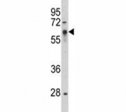 Western blot analysis of Src antibody and HepG2 lysate.  Predicted size 55~60 kDa