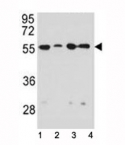 Vimentin antibody western blot analysis in 1) HeLa, 2) U251, 3) A549, and 4) MDA-MB231 lysate