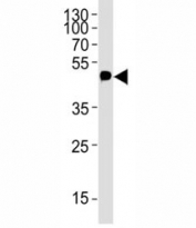 Western blot analysis of lysate from 12-Tag protein using c-Myc antibody; Ab was diluted at 1:4000.