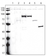Lanes: 1: non-transfected cells; 2: V5-tagged empty plasmid; and V5-tagged proteins: 3-A, 4-B, 5-C, 6-D; Data courtesy of Dr. Gustavo Gutierrez, Burnham Institute for Medical Research.