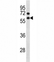 Cyclin B1 antibody western blot analysis in NCI-H460 lysate. Predicted molecular weight: 48-60 kDa