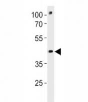 Pou3f3a antibody western blot analysis in zebrafish brain tissue lysate
