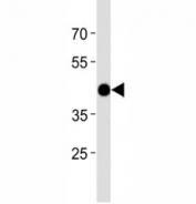 Atf4 antibody western blot analysis in zebrafish muscle tissue lysate