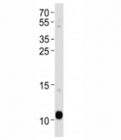 APOA2 antibody western blot analysis in human blood plasma lysate. Predicted molecular weight ~11 kDa.