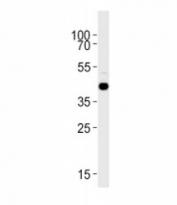 S1pr1 antibody western blot analysis in zebrafish brain tissue lysate
