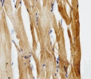 IHC analysis of FFPE zebrafish muscle section using Gfap antibody; Ab was diluted at 1:25.
