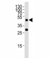 Western blot analysis of lysate from zebrafish tissue lysate using Pou5f1 antibody at 1:1000.