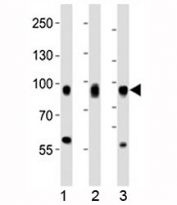 Western blot analysis of lysate from 1) HeLa, 2) PC3, and 3) HT-1080 cell line using CD44 antibody at 1:1000.