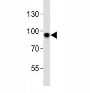 Western blot analysis of lysate from mouse NIH3T3 cell line using Sirt1 antibody at 1:1000. Visualized from 80~120 kDa depending on post-translational modifications