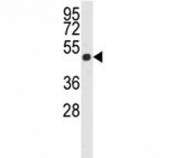 Western blot analysis of Actin beta antibody and K562 lysate.