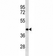 Anti-Oct4 antibody western blot analysis in mouse brain tissue lysate