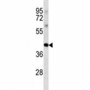 Anti-Oct4 antibody western blot analysis in K562 lysate. Predicted molecular weight ~38/30kDa (isoform A/B).