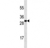 Anti-HMGB1 antibody western blot analysis in mouse brain tissue lysate. Predicted molecular weight ~25 kDa.