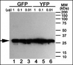 Western blot analysis of anti-GFP antibody using purified GFP/YFP/BFP proteins expressed in bacteria: Both GFP (Lanes 1-3) and YFP (Lanes 4-6) but not BFP (data not shown) were detected.