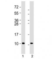 Western blot testing of 1) human brain lysate and 2) mouse brain lysate with GNG2 antibody at 1:8000. Predicted molecular weight: 8 kDa.
