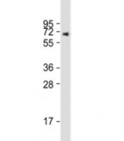 Western blot testing of human placenta lysate with ERVK-7 antibody at 1:1000. Predicted molecular weight: 67 kDa.