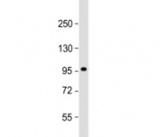 Western blot testing of human skeletal muscle lysate with SULF1 antibody at 1:2000. Predicted molecular weight: 101 kDa.