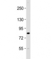 Western blot testing of mouse brain lysate with CIP2A antibody at 1:2000. Predicted molecular weight: 102 kDa but routinely observed at 90 kDa.