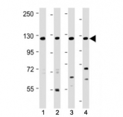 Western blot testing of INTS3 antibody at 1:2000 + Lane 1: human 293, 2: human HeLa, 3: human Jurkat lysate and 4: mouse NIH3T3 lysate. Predicted molecular weight ~118 kDa.
