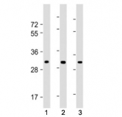 Western blot testing of CH25H antibody at 1:1000: Lane 1) human brain lysate, 2) mouse heart lysate and 3) mouse lung lysate. Predicted molecular weight ~32 kDa.