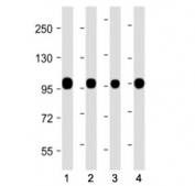 Western blot testing of Calnexin antibody at 1:2000: Lane 1) human PANC-1, 2) mouse brain, 3) mouse liver and 4) rat liver lysate. Predicted molecular weight ~68 kDa but routinely observed at ~90 kDa.