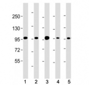 Western blot testing of Beta Catenin antibody at 1:4000: Lane 1) human HEK293, 2) (h) HeLa, 3) monkey COS-7, 4) rat C6 and 5) mouse NIH3T3 cell lysate. Predicted molecular weight ~85 kDa, but routinely observed at 90-95 kDa.