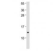 Western blot testing of IFI27 antibody at 1:500 + human spleen lysate. Predicted molecular weight ~11 kDa.