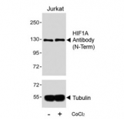 Western blot analysis of lysates from the human Jurkat cell line, untreated or treated with CoCl2 (0.1mM), using HIF-1 alpha antibody (upper) or Tubulin Ab (lower). Routinely observed molecular weight: 100~120 kDa.