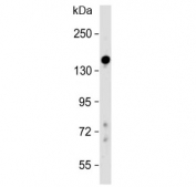 Western blot testing of human liver lysate with Lubricin antibody at 1:500. Predicted molecular weight ~151 kDa.