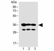 Western blot testing of human 1) SH-SY5Y, 2) PANC-1 and 3) MCF-7 cell lysate with OR5V1 antibody at 1:1000. Predicted molecular weight ~36 kDa.