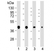 Western blot testing of human 1) 293, 2) HeLa, 3) MCF7 and 4) mouse NIH3T3 cell lysate with AKT1S1 antibody. Expected molecular weight ~40 kDa.