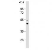 Western blot testing of human brain lysate with AP1M1 antibody. Predicted molecular weight ~49 kDa.