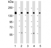 Western blot testing of human 1) MCF7, 2) HepG2, 3) T-47D, 4) mouse cerebellum and 5) human placenta lysate with GLG1 antibody. Predicted molecular weight ~135 kDa.