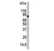 Western blot testing of human HEK293 cell lysate with ATG7 antibody. Predicted molecular weight: 70-80 kDa.