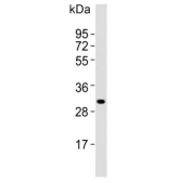 Western blot testing of mouse spleen lysate with MSX1 antibody. Predicted molecular weight ~31 kDa.